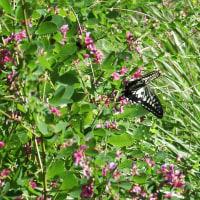 ヤマハギに蝶
