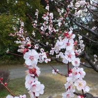浜離宮は菜の花と梅の競演!