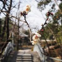 梅林寺外苑の梅はまだ蕾
