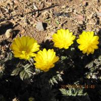 春を告げる 庭先の花