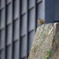 岡崎公園の小鳥達 その4