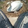 生まれたひなさん手前と親の白鳥さん。