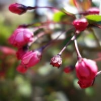 開花宣言から寒いけど、カイドウは赤くなっている