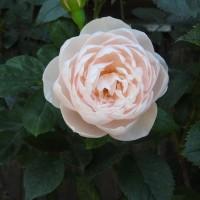 今日の薔薇6月19日