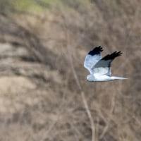 一期一会・・・鳥撮りの記  189 ハイイロチュウヒ、他