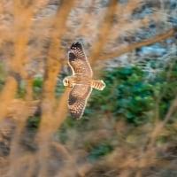 一期一会・・・鳥撮りの記  190 コミミズク