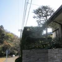 庭木の手入れ。松の剪定をしました。