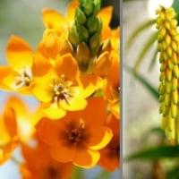 庭の花 オーニソガラムほか (伊勢志摩)