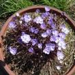 我が家の庭にも山野草・・・清楚な花が好き!!