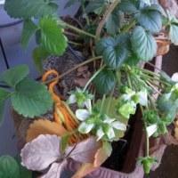 1月のイチゴ日記:花から実へ!