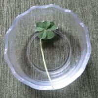 5つ葉のクローバを見つけたのは?