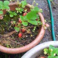 四季成りイチゴ初収穫