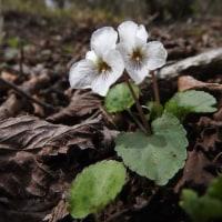 高ボッチ高原・鉢伏山で最近咲いている花 マルバスミレ(丸葉菫)