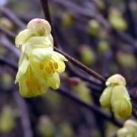 春は黄色の花から