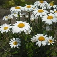 楚々と咲いてます。 シャースターデージィー