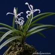 富貴蘭「南国の舞」の花