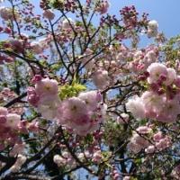 近所の公園の桜 その後のあと