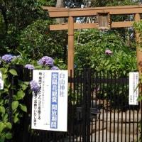 白山神社のアジサイ 2