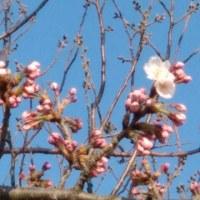 桜(ハナ)一輪
