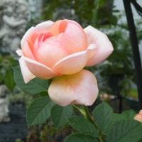 秋のバラと花トラノオ