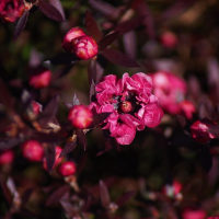 赤紫のギョリュウバイ
