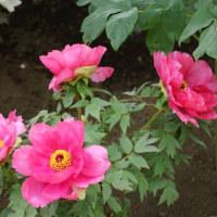 遅咲きの牡丹は変わった花が多く楽しみだ・・・上野東照宮ぼたん苑