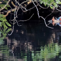 オシドリ #1  ~ 泉自然公園 ~