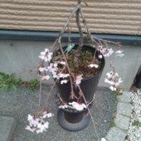 鉢植えのしだれ桜