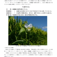 花巻のとある場所に咲くサクラソウ(4/29)