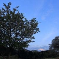 富士山 我が裾野市の宝 「大島桜... 」 のPR