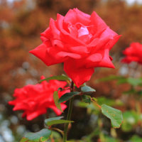 故郷香川も震度4 10月のバラ