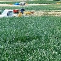 プロ農家の玉ねぎの収穫