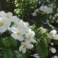 姫リンゴの花が綺麗に咲いた。