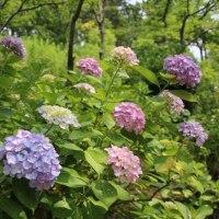 八景島の紫陽花 鮮やかな色合い