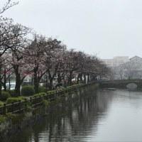 2017年の桜と雨と