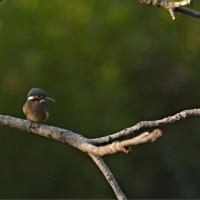 カワセミの巣立ち 水辺の里公園