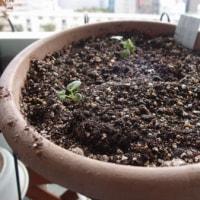 野菜を育ててみる。