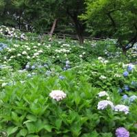 山田池公園の花菖蒲と紫陽花