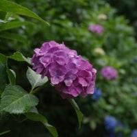 紫陽花<アジサイ>