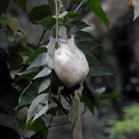 水田地帯でアマミアオガエルを捕食(カエルを食べる):コウノトリJ0067の観察と滞在記録更新