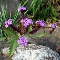 宿根バーベナという花
