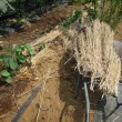 タケノコ芋に敷藁