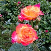 薔薇が咲いたよ
