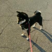 黒柴かんべえ 妹犬さくらちゃんと3月12日の鶴岡市湯田川の梅林公園で