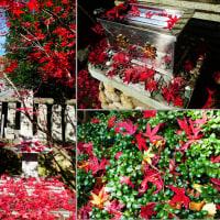 『散紅葉』 高来神社