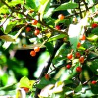 赤い実をつけたアズキナシ 冬鳥たちの歓迎
