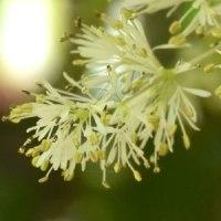 マルバアオダモの花に近づいて
