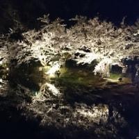 臥竜の夜桜