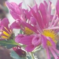 肥後菊と日溜まり