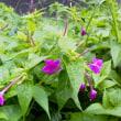梅雨の合間、梅に紫蘇を入れる